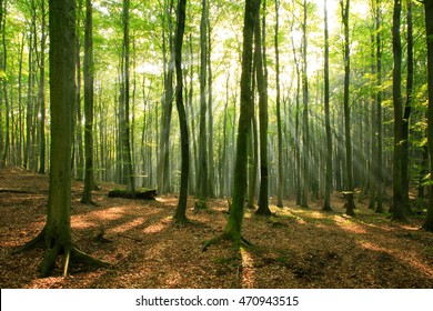 Natural Forest of Beech Trees illuminated by Sunbeams through Fog, real photograph
