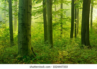 Natural Forest of Beech Trees in the Warm Light of the Morning Sun