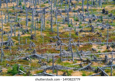 Natural forest regeneration without human intervention in national park Sumava (Bohemian Forest) near Polednik mount. Forest was destroyed in storm Kyrill and attacking by bark beetle, Czech Republic