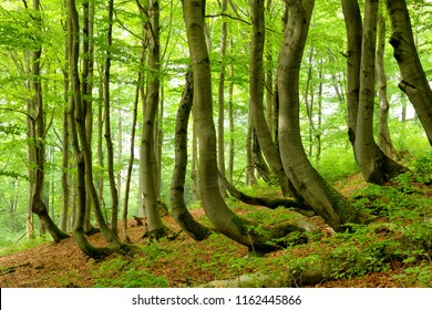 Natural Forest in Spring, Bent Beech Trees