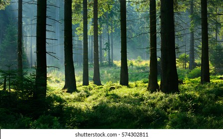 Natural Forest of Spruce Trees illuminated by Sunbeams through Fog