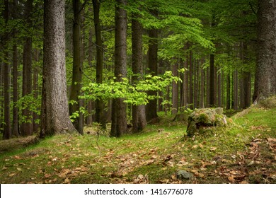 Natural Forest of Spruce Trees in Krkonose National Park, Czechia