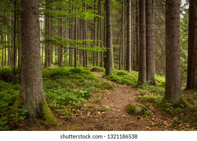 Natural Forest of Spruce Trees of Sumava, Czech Republic