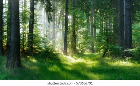 Natural Forest of Spruce Trees, Sunbeams through Fog create mystic Atmosphere - Shutterstock ID 573686731