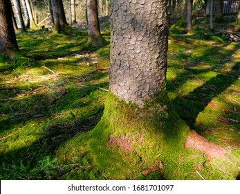 Natural forest trees and moss
