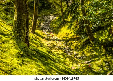 Natural forest Walkways. Walkways with large tree and mosses spread throughout the area. The lush green walkway with tree trunk and moss forest covered all ground. Forest park in Kyoto, Japan.