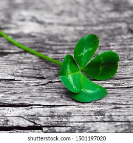 Natural four-leaf clover on gray wood