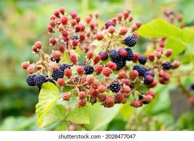Natural fresh blackberries in a garden. Bunch of ripeand unripe blackberry fruit - Rubus fruticosus - on branch of plant with green leaves on farm. Organic farming, healthy food, BIO viands.