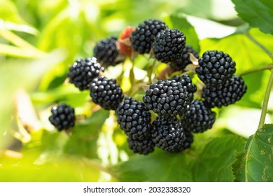 Natural fresh blackberries in a garden. Bunch of ripe blackberry fruit - Rubus fruticosus - on branch of plant with green leaves on farm. Organic farming, healthy food, BIO viands.