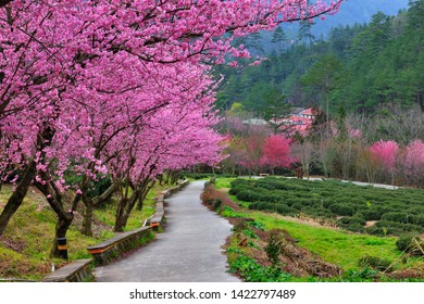 Natural fresh pink cherry blossom flowers in a spring garden