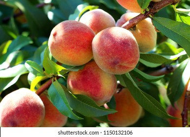 Natural fruit. Peaches on peach tree branches