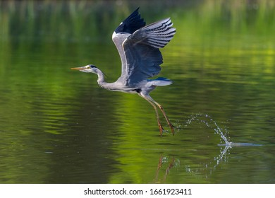 natural gray heron (ardea cinerea) taking-off from water with spread wings