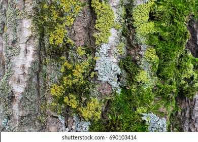 Natural Gray Old Tree Bark with lush Green Moss and Lichens