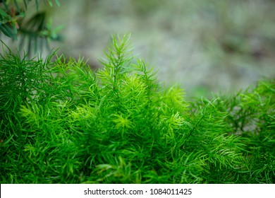 Natural green background with Asparagus Densiflorus Sprengeri or Sprengeri Asparagus Fern. selective focus and Copy Space.
