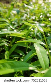 Natural Green Background  With Grasshopper