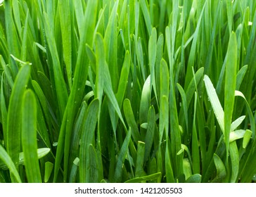 natural green background of Sisaket onion growing in the garden