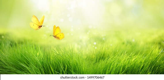 Natural green background of young juicy grass in sunlight with beautiful bokeh. Lush grass macro and two flying butterflies in nature outdoors, wide format with copy space.