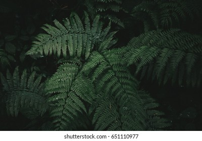 Natural green fern in the forest