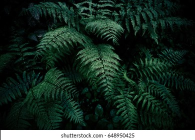 Natural green fern in the forest.close up