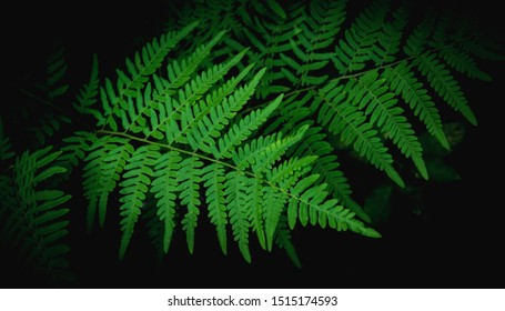 Natural green fern leaves texture in the forest close up on the dark background.foliage natural floral fern background in sunlight.