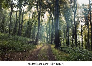natural green forest landscape, dirt road between trees in morning light, summer forest landscape