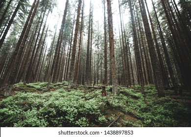 Natural green forest of spruce trees in Sumava, Czech Republic