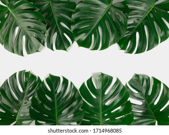 Natural green fresh monstera leaves border frame on white abstract background isolated. Room for text. Tropical summer concept.