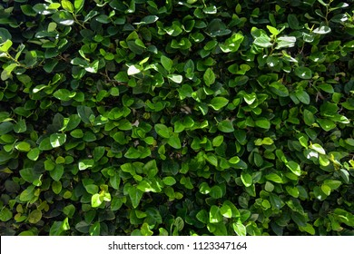 Natural green hedge background of a climbing shrub covering a wall