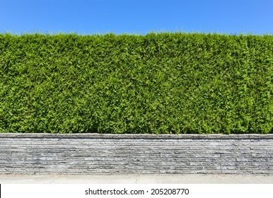 Natural green hedge with concrete pavement and blue sky background