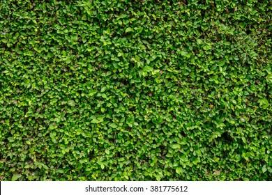 Natural green leaf wall