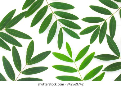 Natural green leaves isolated on white background.Branch of green leafs isolated on white background