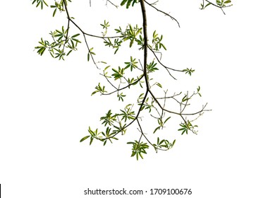 Natural green leaves, isolated white background, clipping path