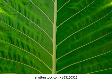 Natural green leaves texture background.