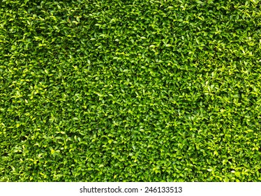 Natural green leaves wall background.