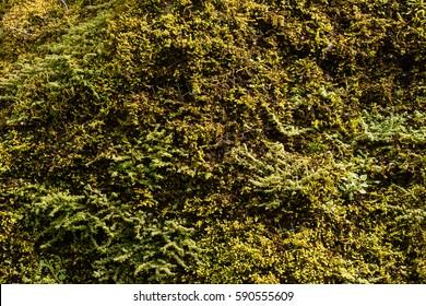Natural green moss on rock.