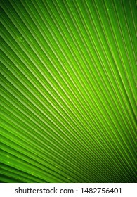 Natural green palm leaf texture. Botanical background