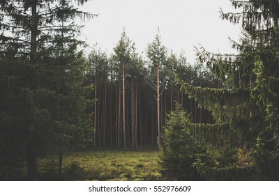Natural Green Pine forest