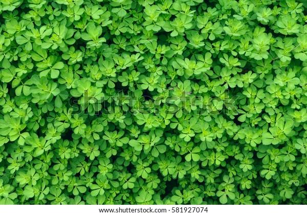 Natural green plant texture