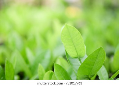 Natural Green Plants Background Or Wallpaper Nature View Of Leaf In Garden At Summer
