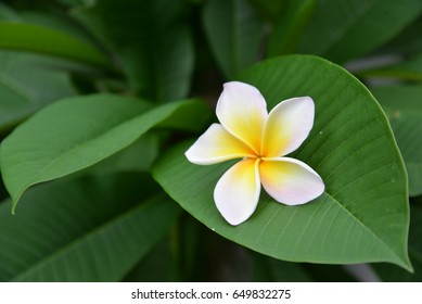 Natural green plumeria leaf background with pretty plumeria flower decoration on the surface