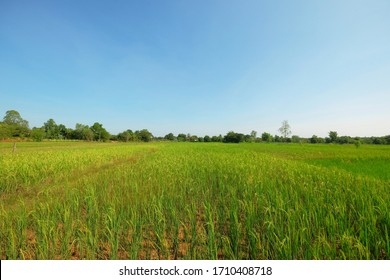 natural green rice field with blue sky background.