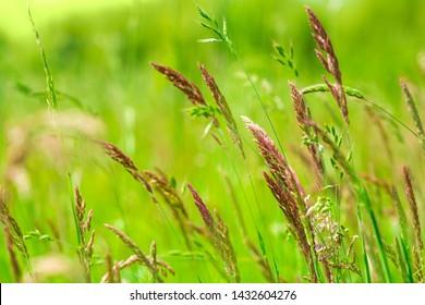 Natural growing motley  grass field (sweetgrass, hierochloe). Soft focus. Nature background