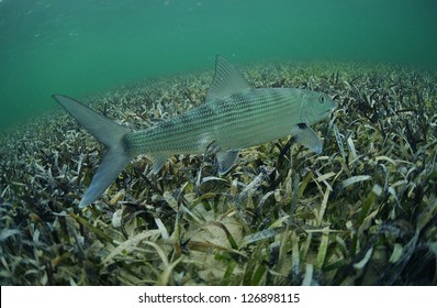 In its natural habitat, a bonefish is swimming in the grass flats ocean