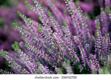 Natural Heather flower field. Calluna vulgaris. Small pink, lilac, violet flowers. soft focus.
