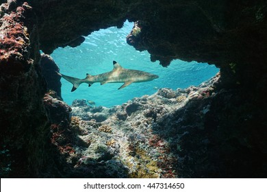 Natural hole underwater into the fore reef with a blacktip reef shark, Carcharhinus melanopterus, Huahine island, Pacific ocean, French Polynesia