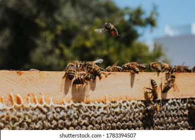 Natural honey bee bee keeper Cyprus insect macro close up beekeeping