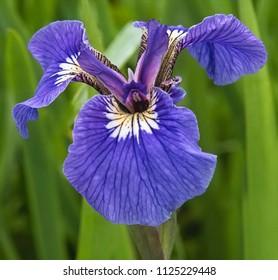 Natural iris flower growing in the garden