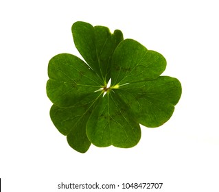 Natural and irregular six-leaf clover isolated over a white background.