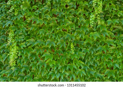 Natural ivy background. Vibrant green leaves