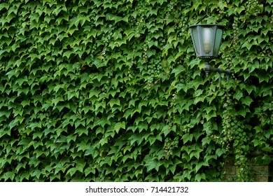 Natural ivy growth by green wall of leaves. Classical lantern st